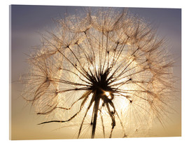 Acrylic glass  Dandelion in sunlight