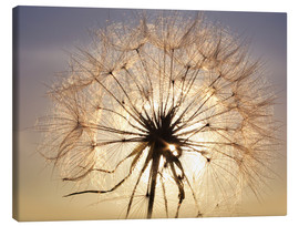 Canvas  Dandelion in sunlight