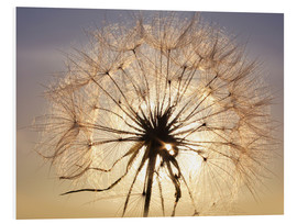 Foam board print  Dandelion in sunlight