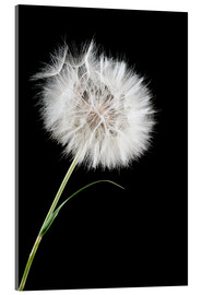 Acrylic glass  the big white dandelion
