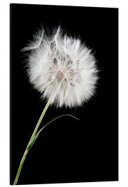 Alu-Dibond  the big white dandelion