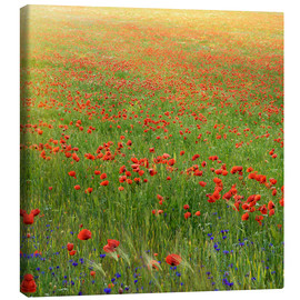 Canvas print  Poppy meadow