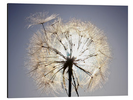 Aluminium print  Dandelion is ready to fly
