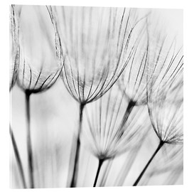 Acrylic glass  black and white dandelion
