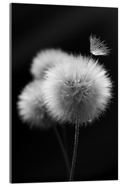 Acrylic glass  Fluffy dandelions close-up