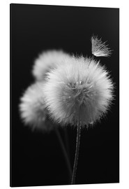 Alu-Dibond  Fluffy dandelions close-up