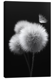 Canvas  Fluffy dandelions close-up