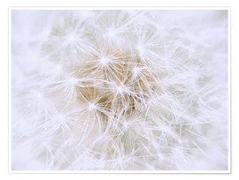 Premium poster Dandelion - white as snow