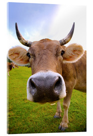 Acrylic print  Erna the cow
