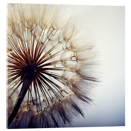 Acrylic glass  Dandelion closeup