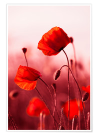 Premium poster Poppies at sunset