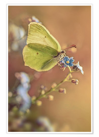 Premium poster Yellow butterfly on forget me not flower