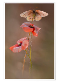 Premium poster  Butterfly on poppy flower - Jaroslaw Blaminsky