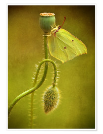 Premium poster Yellow butterfly on poppy head