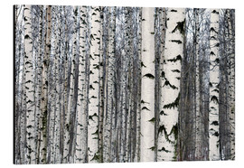 Aluminium print  Birch forest in winter