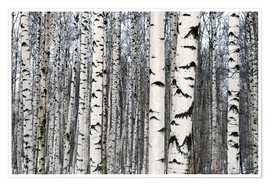 Premium poster Birch forest in winter