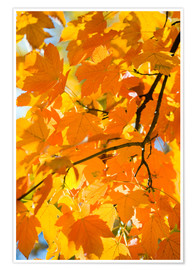 Premium poster Autumnal maple leaves