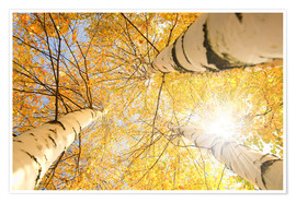 Poster Golden birch forest