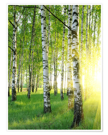 Poster  Birches in summer forest