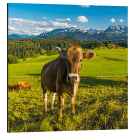 Aluminium print  Funny Cow in the Alps - Michael Helmer