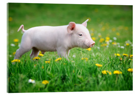 Acrylic print  Piglet on a Spring Meadow