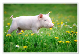 Premium poster  Piglets on a spring meadow