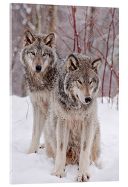 Wolf couple in snow