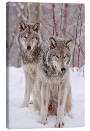 Canvas  Wolf couple in snow