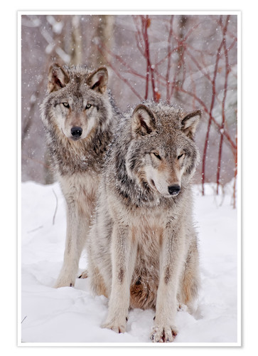 Premium poster Wolf couple in snow