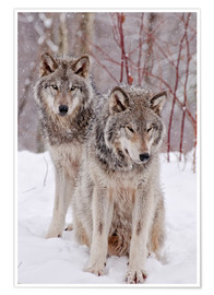 Poster  Wolf couple in snow