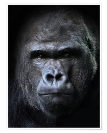 Premium poster  Male Gorilla in Portrait
