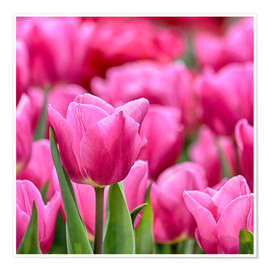 Poster Tulips in pink
