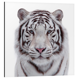 Alu-Dibond  The white tiger