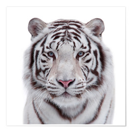 Premium poster The white tiger