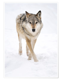 Premium poster Gray Wolf in Snow