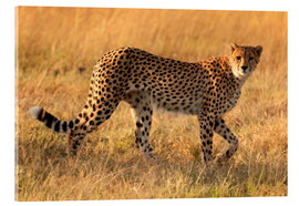 Acrylic print  Cheetah looking for its prey