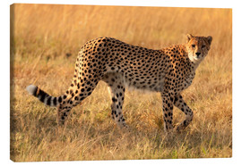 Canvas  Cheetah looking for its prey