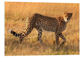 Forex  Cheetah looking for its pray