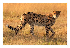Poster  Cheetah looking for its pray