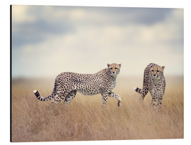 Aluminium print  Cheetahs on the hunt