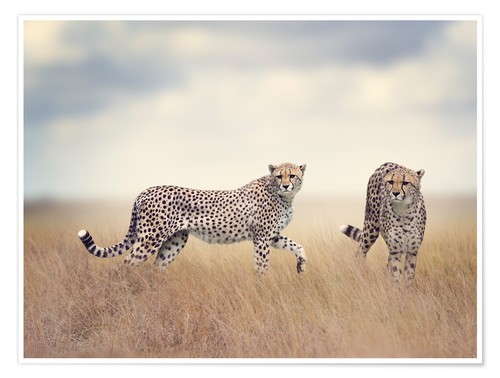 Premium poster Cheetahs on the hunt