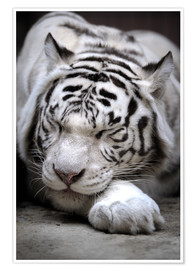 Premium poster Sleeping white tiger