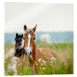 Acrylic print  Haflinger with wildflowers