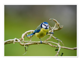 Premium poster Blue tit on branch