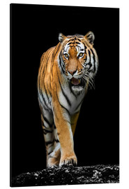 Aluminium print  Male tiger