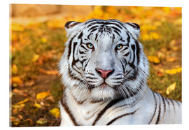 Acrylic print  White Tiger in closeup