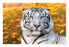 Poster White Tiger in closeup