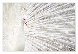 Poster  White Peacock