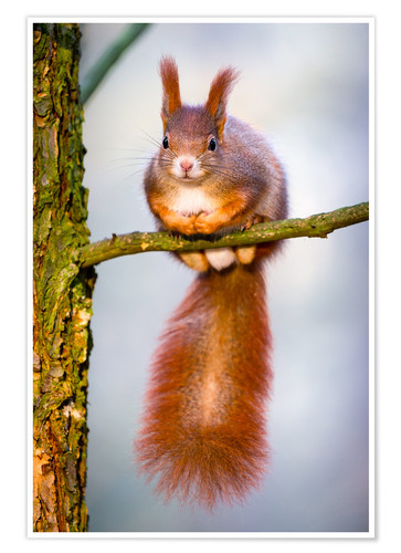 Premium poster Squirrel on small branch