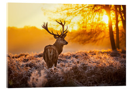 Acrylic print  Red Deer in Morning Sun